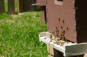 A colony can build up to 60,000 bees, said Brent Wesley, owner of the Akron Honey Company.