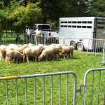 Flock of Dorset sheep from Spicy Lamb Farm (Photo by H. Craig Erskine III)