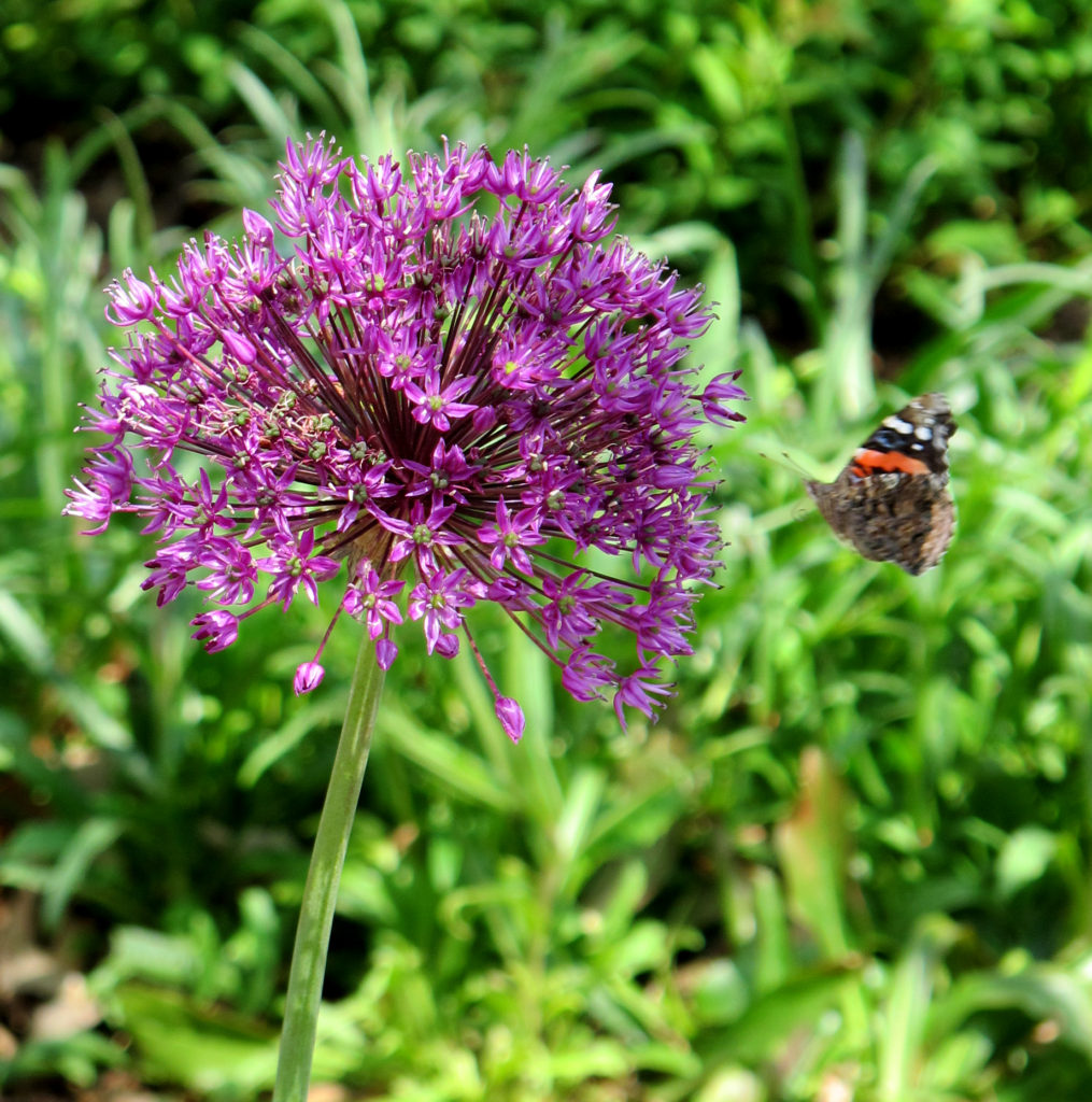 Stan Hywet_Allium and butterfly in the Great Garden-1
