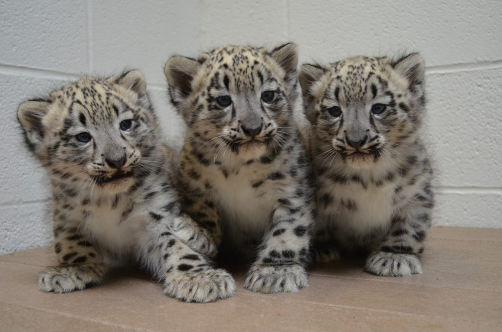 Snow leopard cubs seven weeks old (Photo courtesy of the Akron Zoo)