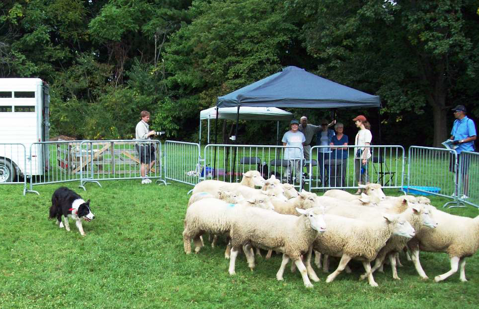 A border collie herd sheep at Mutton Hill during a previous Porch Rocktr Festival in Highland Square. (Photo by H. Craig Erskine III)