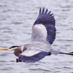 City hosts 3rd Annual Blue Heron Homecoming May 6