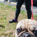 Pug Fest fundraiser features costume contest, live music, canine amenities